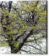 Honey Locust Tree On A Spring Snow Day Acrylic Print