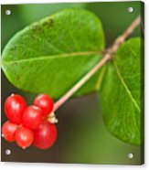 Honey Suckle Berry Seeds Acrylic Print