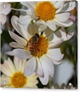 Honeybee And Daisy Mums Acrylic Print
