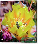 Honeybee At Work Acrylic Print