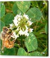 Honeybee Drinking From Clover Bloom   Summer  Indiana Acrylic Print