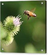 Honeybee Flying To Thistle  Acrylic Print