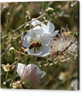 Honeybee Gathering From A White Flower Acrylic Print
