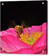 Honeybee In Flight 010 Acrylic Print