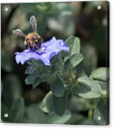 Honeybee On Blue Daze Acrylic Print