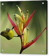 Honeyeater On Bird Of Paradise Acrylic Print