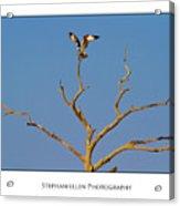 Honeymoon Osprey Acrylic Print