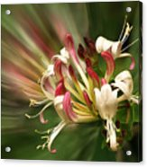 Honeysuckle Breeze Acrylic Print