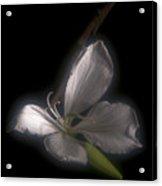 Hong Kong Orchid Acrylic Print