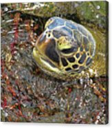 Honu In The Water Acrylic Print