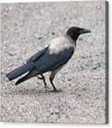 Hooded Crow Acrylic Print