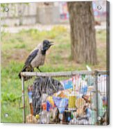 Hooded Crow With Garbage Acrylic Print