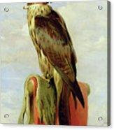 Hooded Falcon Acrylic Print
