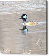 Hooded Merganser Acrylic Print