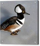 Hooded Merganser Duck Drake Acrylic Print