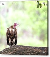 Hooded Vulture Acrylic Print