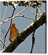 Hook Winged Butterfly Acrylic Print