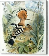 Hoopoe Acrylic Print by Edouard Travies