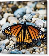 Hope Of The Monarch Butterfly Acrylic Print
