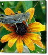 Hopper On Black Susan Flower Acrylic Print