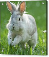 Hopping Rabbit Acrylic Print