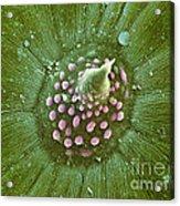 Hops Leaf, Sem Acrylic Print