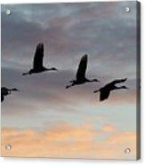 Horicon Marsh Cranes #1 Acrylic Print
