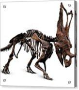 Horned Dinosaur Skeleton Acrylic Print