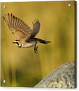 Horned Lark In Flight Acrylic Print