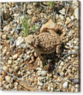 Horned Lizard Acrylic Print