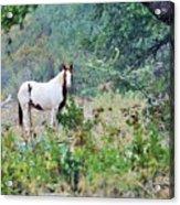 Horse 017 Acrylic Print