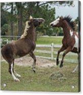 Horse Aerobics Acrylic Print