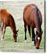 Horse And Colt Acrylic Print