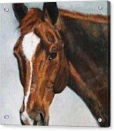 Horse Art Portrait Of Horse Maduro Acrylic Print