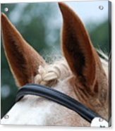 Horse At Attention Acrylic Print