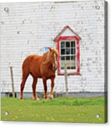 Horse At Panmure Island Lighthouse 5756 Acrylic Print
