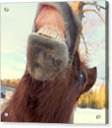 Horse Facial Expressions Are Nearly Identical To Those Of Humans Acrylic Print