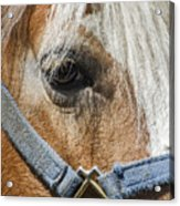 Horse Close Up Acrylic Print