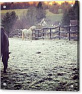 Horses On A Frosty Pasture Acrylic Print