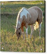 Horse Feeding In Grass Farm With Sunset Light From The Left Acrylic Print
