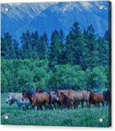 Horse Herd Acrylic Print