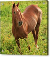 Horse In A Field With Flowers Acrylic Print