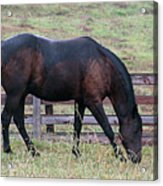 Horse In A Pasture Acrylic Print