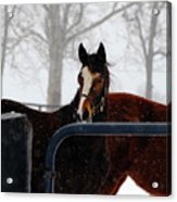 Horse In A Snowstorm Acrylic Print
