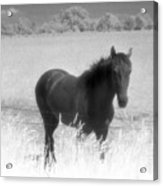 Horse In A Summer Dreamfield  Acrylic Print