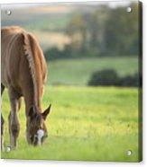 Horse In Field Near Ballyvaloo, Blackwater, Wexford Acrylic Print