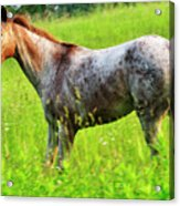 Horse In Pasture Field Acrylic Print by Thomas R Fletcher