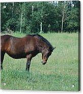 Horse Acrylic Print