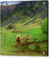 Horse On The South Iceland Coast Acrylic Print