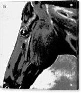 horse portrait PRINCETON black and white Acrylic Print